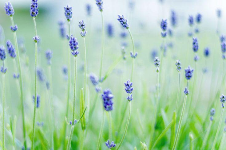Vacker hud med Lavendel